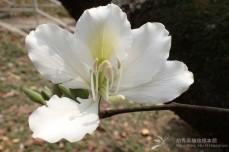 Bauhinia-variegata-var-candida_flower_ym-P3090917-e1451363112410